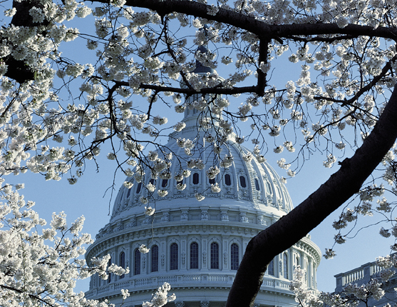 United States Capitol Building dome framed with cherry blossoms