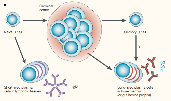 B cell activation and effector functions american society for fig16 publicscrutiny Choice Image